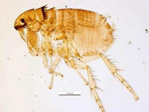 Fleas Pest Control Health Vic