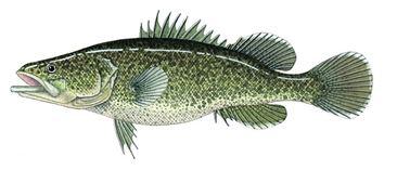 Mercury in fish loddon river for Cod fish mercury